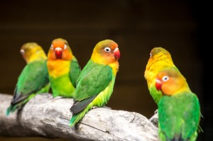 love-birds-1454325_1280